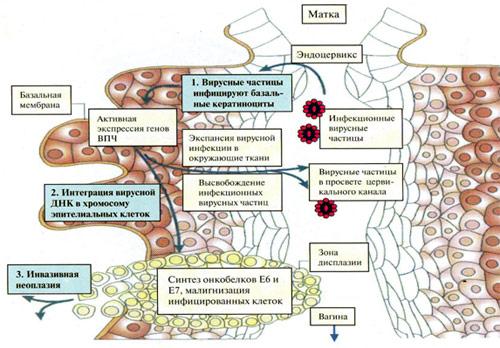 Биология папилломавирусной